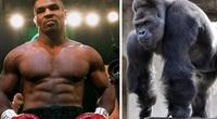 Mike Tyson và chuyện chi 10.000 USD để đấm nhau với... khỉ đột