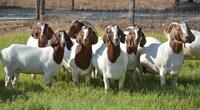 CLIP: Làm giàu nhờ mô hình liên kết nuôi dê với trang trại dê DTH FARMT