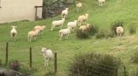 Lạ lùng cảnh hàng trăm con cừu đứng bất động giữa đồng cỏ xanh ngát