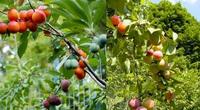 """""""Thánh ghép cây"""" tạo ra 40 loại quả khác nhau trên cùng 1 cây"""