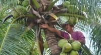 """Phú Yên: Làng dừa đẹp như cổ tích, dân """"lên trời"""" hái lộc quanh năm"""