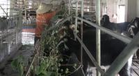 Nông dân phất lên nhờ liên kết nuôi dê cùng trang trại dê DTH FAMRT