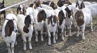 Liên kết nuôi dê làm giàu cùng trang trại dê DTH FAMRT