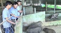 Quảng Trị: Một nông dân phát tài nhờ nuôi thứ lợn trông xấu xí, tướng dữ tợn, chưa lớn lái đã đòi mua