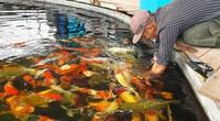 Thái Bình: Hoa mắt ngắm đàn cá Koi tiền tỷ, con đắt nhất có giá vài ngàn đô