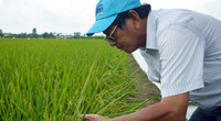 Cha đẻ loại gạo ngon nhất thế giới nói gì về cơ hội xuất khẩu gạo sang Mỹ, châu Âu?