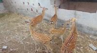 Thái Nguyên: Một nông dân phát tài nhờ nuôi loài thú cứ 1 năm vật ra cắt thứ này bán đắt tiền