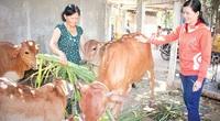 Làm giàu ở nông thôn: Thời buổi nông dân nuôi bò chẳng lo mất giá