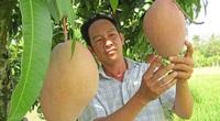 """Vĩnh Long: Giống xoài lạ màu hồng phấn, có trái """"khủng"""" nặng 2,6kg, giá bán gấp 3 xoài thường"""