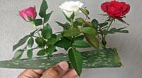 Trồng hoa hồng bằng lá lô hội, tưởng dở ngờ đâu sau khi thấy thành quả, ai cũng muốn học theo