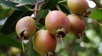 """Loại trái cây ngọt thơm thời xưa ai cũng ghiền nhưng giờ gần như đã """"mất tăm"""" ở Việt Nam"""
