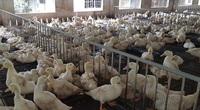 """Covid-19: Đến khổ, Phó Chủ tịch Hội Nông dân tỉnh Thừa Thiên Huế lên mạng kêu gọi """"giải cứu"""" 6.000 con vịt cho nông dân"""