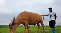 Ông nông dân nuôi nhiều trâu nhất ở Hà Nội nói gì về lệnh cấm chăn nuôi trong nội thành?