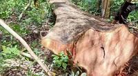 Truy tìm đối tượng cưa hạ hơn 5 khối gỗ nghi để trả thù cá nhân