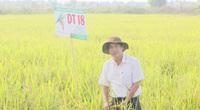 Quảng Bình: Lúa DT18 chịu rét, chống đổ tốt, năng suất hơn 70 tạ/ha