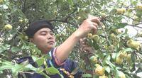 Yên Bái: Trước là quả dại lên rừng mới có, nay thành đặc sản trà táo mèo, ai cũng khen ngon