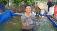 Nam Định: Nuôi thập cẩm các thứ cá trong 1 cái ao, toàn con to bự, ông nông dân này thành tỷ phú