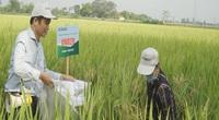 Giống lúa đặc biệt mới, có khả năng chống chịu sâu bệnh, giúp người nông dân yên tâm sản xuất