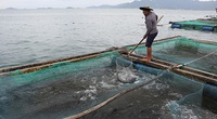 Khánh Hoà: Khốn khổ, cá bớp đặc sản chết hàng loạt, có hộ cá chết sạch, vớt lên 2 tấn