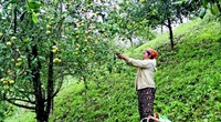 """Sơn La: Giã từ """"nàng tiên nâu"""", dân Long Hẹ trồng cây ăn quả, vừa khoẻ vừa có tiền"""