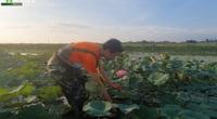 Kỳ công mang sen hồ Tây về Nghệ An trồng trái mùa, chàng kỹ sư Công nghệ thông tin thu bộn tiền