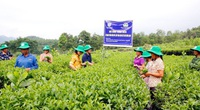 """Phú Thọ: Vườn chè nhiều búp, năng suất hơn cả mong đợi nhờ """"ăn"""" phân bón chuyên dụng"""