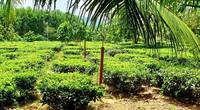 """Bình Định: Giống chè đặc sản có tên rất lạ suýt bị bỏ quên, nay lại thành cây """"hái ra tiền"""""""