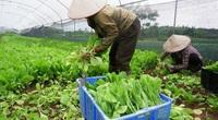 Sản xuất rau sạch ở Lĩnh Nam: Kiểm soát theo chuỗi khép kín từ sản xuất đến tiêu thụ
