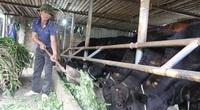 Hà Nội có 92 trang trại chăn nuôi bò thịt quy mô lớn