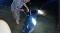 Tin tức 24h qua: Cá mập khủng dạt vào bờ sông Bến Hải