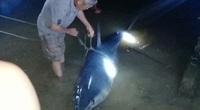 Cá nặng 2 tạ nghi cá mập xanh dạt vào bờ biển Quảng Trị