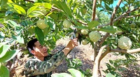 Tuyên Quang: Vùng đất dân đổi đời nhờ trồng những cây na thấp tè mà ra toàn quả to bự