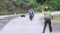 Quảng Trị: Đề nghị hỗ trợ 2 con chó nghiệp vụ xua đuổi đàn voọc từng tấn công 9 người ở đường quốc lộ
