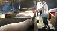"""Nông dân Bình Định """"mạnh tay"""" tái đàn lợn, giá lợn hơi 74.000 đồng/kg vẫn lãi cao"""