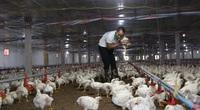 Giá gia cầm hôm nay 26/9: Giá gà thịt công nghiệp giảm nhẹ, người nuôi có còn lãi?