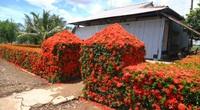 Kiên Giang: Chiêm ngưỡng ngôi nhà quê với hàng rào độc khiến thị dân chỉ biết ước