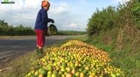 Bất ngờ hiện tượng cam rụng chất đống đầy đường ở Nghệ An