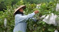 """Vay vốn """"tậu trâu"""" nông dân tỉnh Tuyên Quang khá giả"""