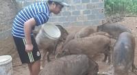 """Lợn rừng giá """"trên trời"""" 150.000 đồng/kg mà khách vẫn mua tơi tới, lợn giống cũng """"cháy hàng"""""""