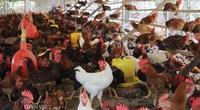 Giá gia cầm hôm nay: Cận tết giá gà vẫn thấp, người chăn nuôi Đồng Nai đứng ngồi không yên
