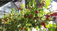Mẹ đảm mách cách trồng cà chua trên ban công cho quả sai trĩu trịt