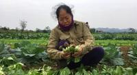 Hà Tĩnh: Dân làng rau Mai Hồ tất bật ra đồng chăm rau, bí quyết gì mà ngày nào cũng có nửa triệu?