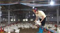 Giá gia cầm hôm nay 16/1: Giá gà công nghiệp bứt phá, vịt thịt khó vượt khó