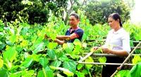 Tuyên Quang: Trồng đủ thứ rau rừng đặc sản, ít phải chăm nom mà hái bán chạy như tôm tươi