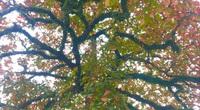 """""""Cụ"""" cây bàng cổ gần 250 tuổi ở Nghệ An, xòe tán rộng 15m chuyển lá màu đỏ, quyến rũ đến lạ kỳ"""