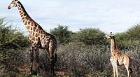 Hết sức kỳ lạ: Hiếm gặp con hươu cao cổ lùn nhất thế giới, chỉ bằng nửa con hươu cao cổ bình thường