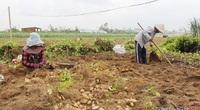 """Quảng Ngãi: Trúng mùa, dân đào la liệt các thứ củ đặc sản này, đào đến đâu thương lái """"khuân"""" đến đó"""