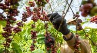 Ảnh: Mùa trái cà phê chín đỏ cành ở Tây Nguyên