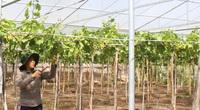 """Ninh Thuận: Lạ, nông dân trồng nho bằng cách gì mà sâu bọ đứng ngoài """"khóc"""", cây ra trái quá trời"""