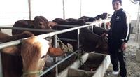 Thái Nguyên: Lạ, nuôi bò vỗ béo cho uống đường phên trộn với phế phẩm này, cứ nuôi 1 con nông dân lãi 1 triệu/tháng